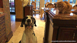 Great Dane Shows Cat His Sit Speak Lay Down Stay Come Training Talent