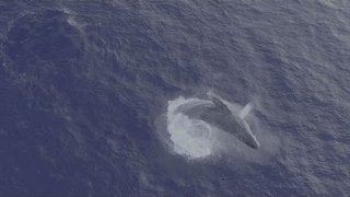 Whale Emerges Spectacularly From Water After 6-Hour Wait - Video
