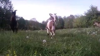 Alpine Goats Running in a Field - Video