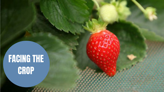 Fruit farmers are struggling to find pickers due to Brexit - Video