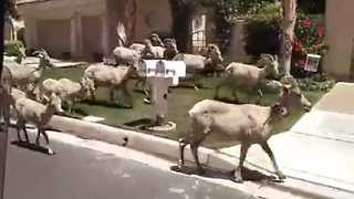 Flock of Rams Invade California Neighborhood - Video