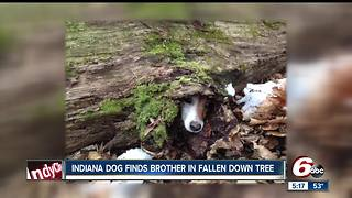 Indiana dog finds his puppy-brother stuck in fallen tree - Video