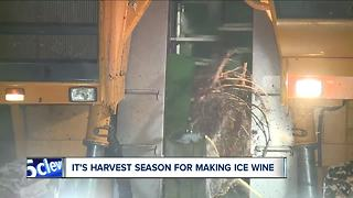 Ferrante Winery embraces arctic air during harvesting time for ice wine - Video