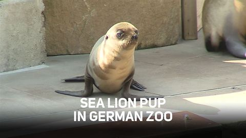 Incredibly cute sea lion cub takes first 'baby flaps'