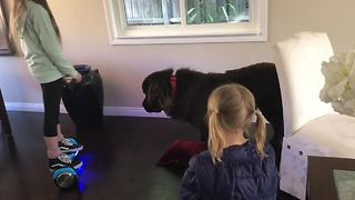 Dog protects girl on hoverboard with pillow - Video