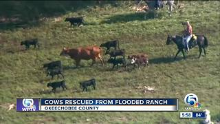 Dramatic cow rescue - Video