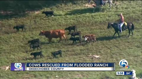 Dramatic cow rescue