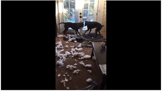 Doberman & Labrador decimate living room couch - Video