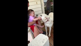 Labrador kisses send baby into giggle fit
