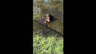Dirty dog cools off in flooded puddle