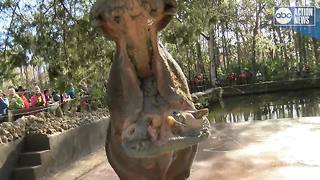 Lu the Hippo celebrates a birthday! - Video