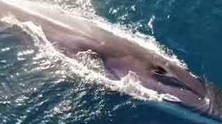 Stunning Drone Footage Shows Fin Whales Swimming Off Newport Beach, California