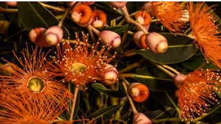 Time-Lapse Shows Native Australian Flowers Blossoming at Eve of Spring - Video