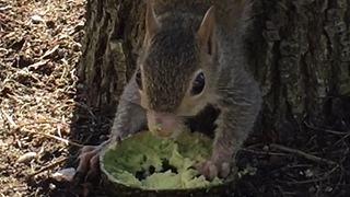 Hungry Squirrel  - Video