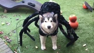 Alaskan malamute dressed as a spider for Halloween - Video