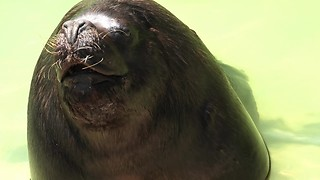 Charming Sea Lion Tries To Steal Kisses From Partner