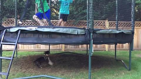 Two Boys Jump On A Trampoline And A Dog Runs Under It