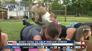 Goat yoga to help destress - Video