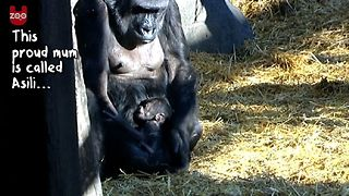 Gorilla Gives Birth - Video