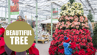 A glowing red Christmas tree made almost entirely of beautiful poinsettias - Video