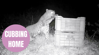 Moment teeny leopard cub was reunited with his mum