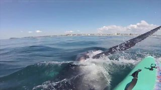 Whale calf hits paddler's board in Gold Coast - Video