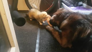 Ferret & dog best friends play tug-or-war