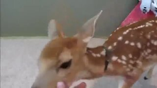 Fawn rescued from dying turns out to be coolest pet ever