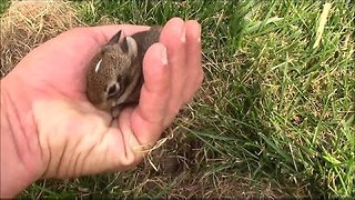 Wild Baby Rabbits Nesting at the Office - Video