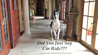 """Bouncing Great Danes Love To Hear The Words """"Car Ride"""""""