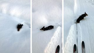 Snow way out! Little legged corgi gets stuck in the snow - Video