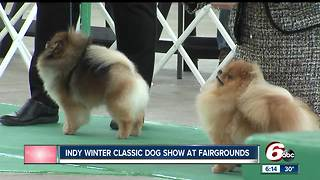 Indy Winter Classic AKC All-Breed Dog Show underway at the Indiana State Fairgrounds - Video