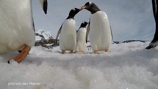 Clumsy penguins caught on GoPro caught stomping them into snow and sliding on their bellies