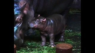 Baby Hippo Has Special Ceremony - Video
