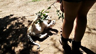 Golden tiger cub plays with caretaker in adorably precious manner