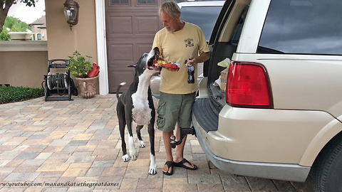 Excited Great Danes Can't Wait to See Dad and the Groceries