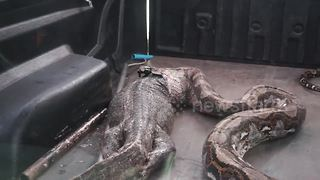 Python regurgitates massive monitor lizard - Video