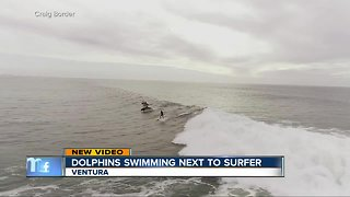 Drone video shows dolphins swimming next to surfer