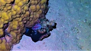 Curious octopus tries to drag camera to his lair under coral