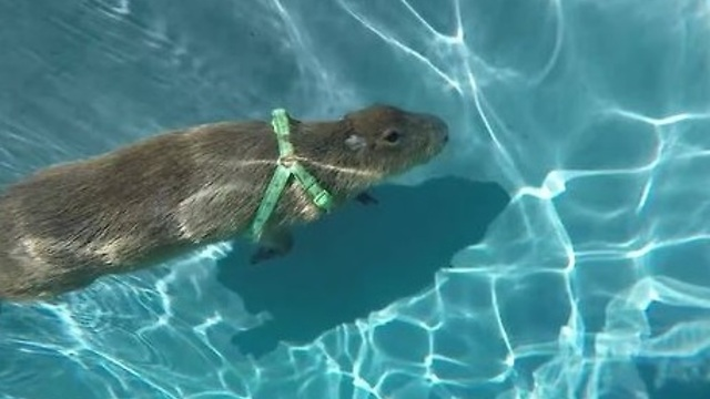 Capybara swims in pool, dives underwater