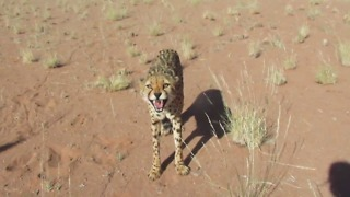 Rescued cheetahs being protective over ostrich carcass