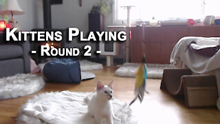 Kittens Playing, Round 2: Our Lilac Lynx Balinese Cats, Sal and Veeya [ASMR]