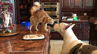 Funny Impatient Great Dane and Cat Chat About Chicken ~ Both Show Off  - Video