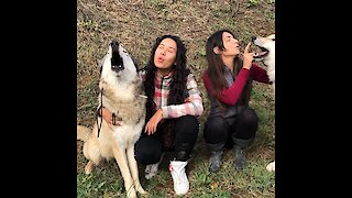 Caretakers convince their wolves to engage in howling match