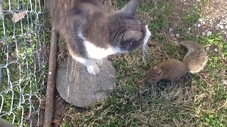 Baby squirrel plays with family cats - Video