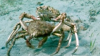 The Uber of Crabs? Two Spider Crabs Form a Mating Pair After Migrating En Masse to Melbourne - Video