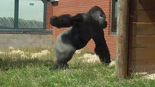 Big Silverback Gorilla Lets Everyone Know Who's Boss - Video