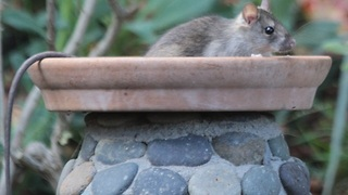 7 repulsive things you need to know about roof rats - ABC15 Digital - Video