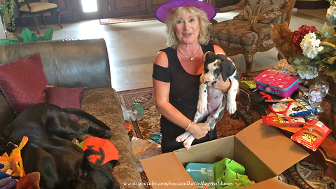 Great Dane and Cats Enjoy a Halloween Gift Party