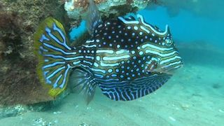 Beautiful Cowfish Shows off Striking, Fluorescent Body - Video